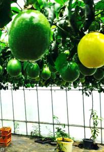 種子島試験農園3